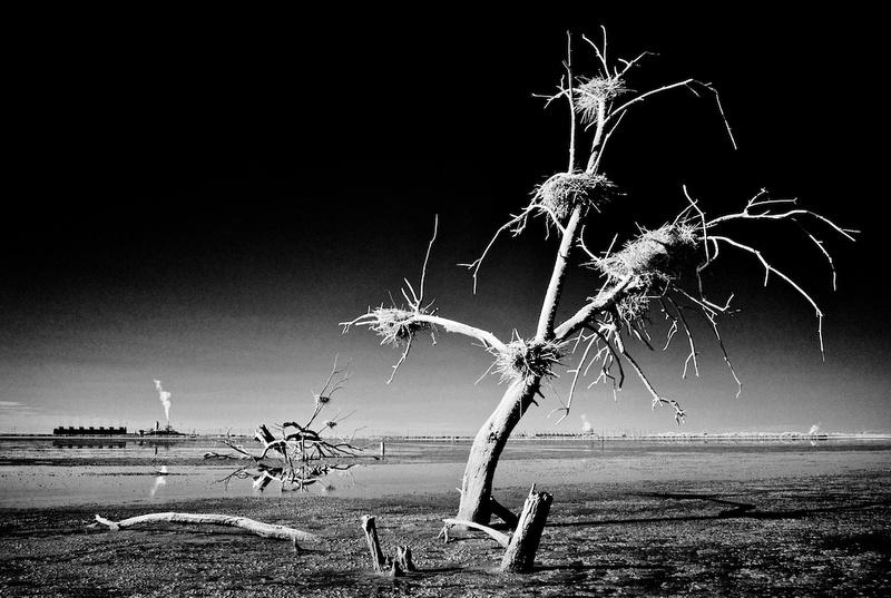 Dead Tree, Nests & Thermal Plants - Salton Sea, CA - 2014