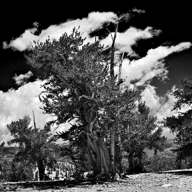 Trees with Striped Clouds - Ancient Bristlecone Nat'l Forest, CA - 2009