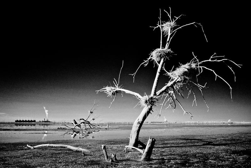 Dead Tree, Nests & Thermal Plants - Infrared Exposure - Salton Sea, CA - 2014