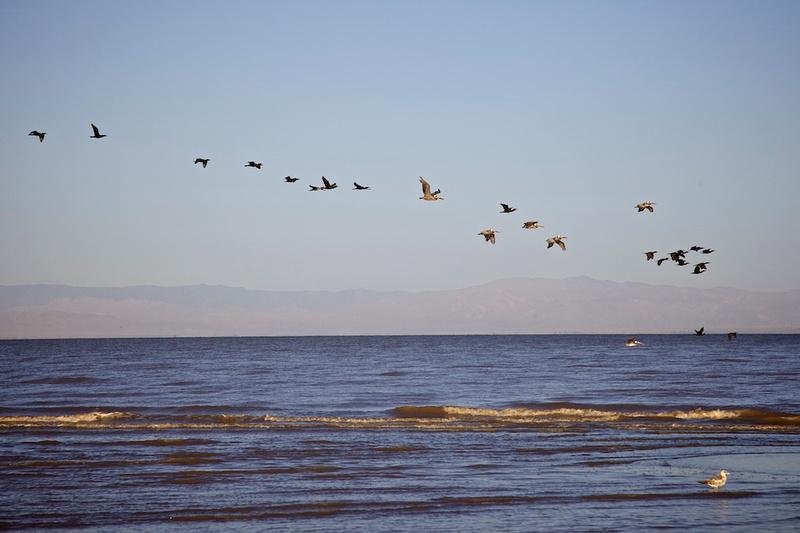 Birds off Red Hill Marina - Salton Sea, CA - 2014