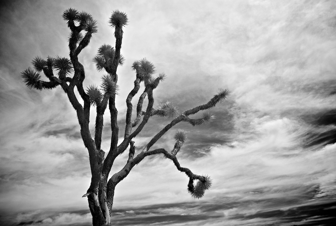 Lone Tree - Joshua Tree National Park - 2011