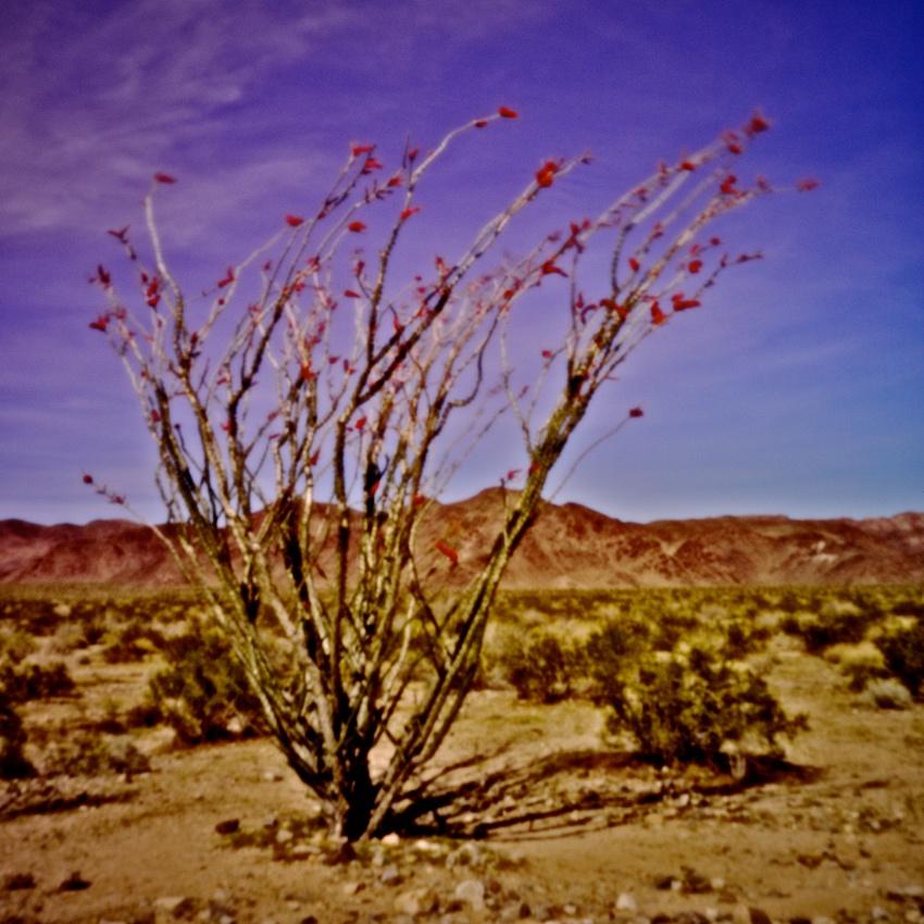 Ocotillo in Bloom - Joshua Tree Nat'l Forest - 2011